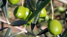 Σε θετικό κλίμα η συνάντηση ελαιοπαραγωγών νομού Χαλκιδικής με εμπόρους